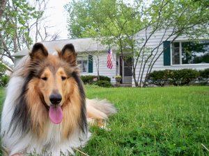 likken als Lassie