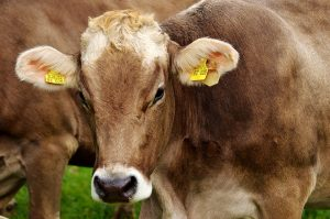 een koe, niet Hermien