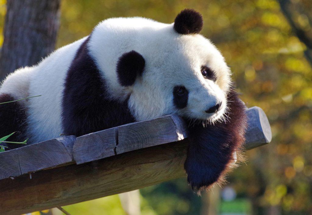 panda-3875289_1920